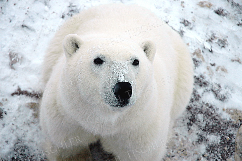 #543  Polar bears have extremely sensitive noses.  It is said they can smell a ring seal out on the ice from more than 20 miles away.  I can't imagine what it is thinking about our human odors.
