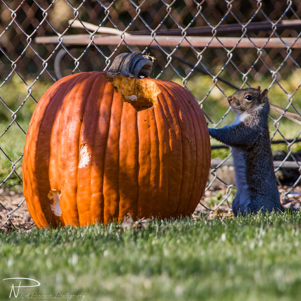Pumpkin Squirrel-1.jpg