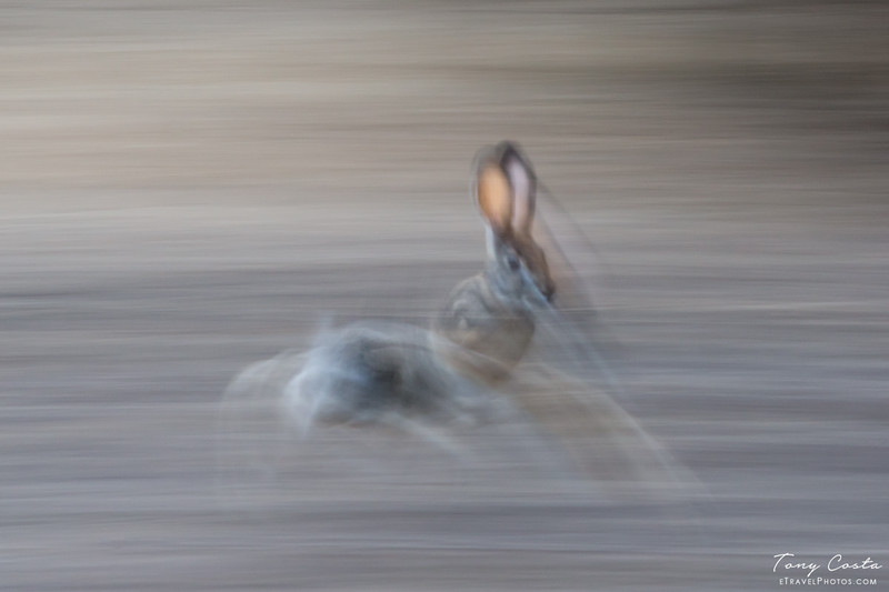 Slow Pan Scub Hare