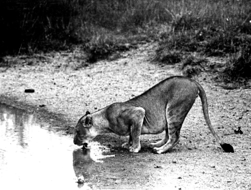 . MAR 1950  It took many patient hours of stalking and waiting to catch this view of an African lioness. Most African big game hunters bag their lion trophies by use of bait which may or may not lure the wary beasts within range of gun or camera.  Credit: The Denver Post