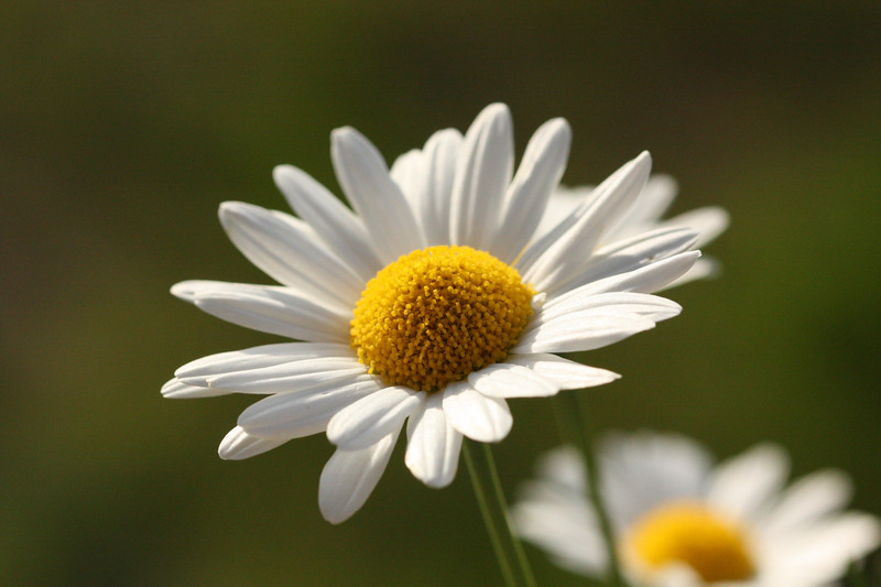 Mountain Daisy.jpg
