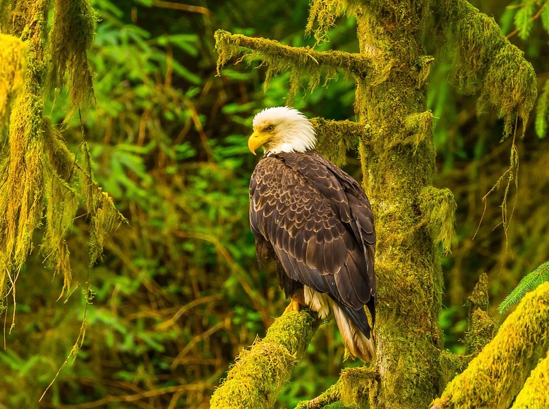 Anan eagle (1).jpg