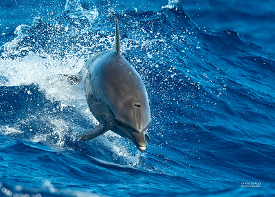 Dolphins (Delphinidae)