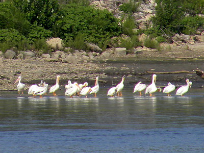 Pelicans - Starved Rock - Aug 2016, July 2017