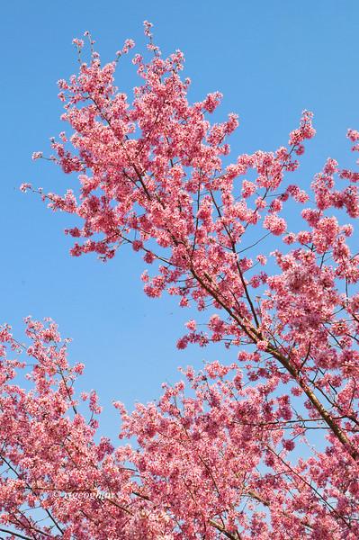 April 10_BranchBrookCherryBlossoms_7516.jpg