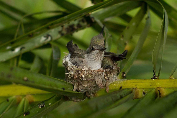 Humming Bird Nest Fledglings 4-15-10