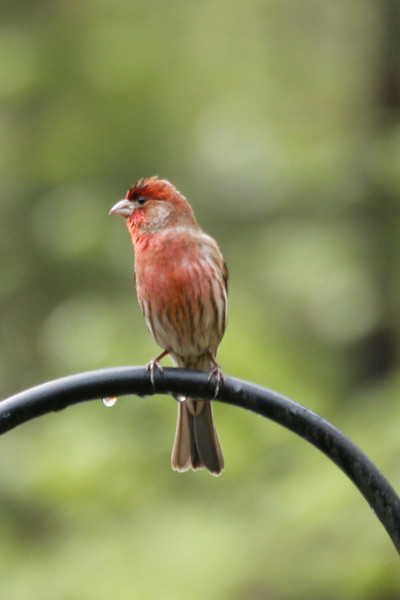 male purple finch, damp from the rain