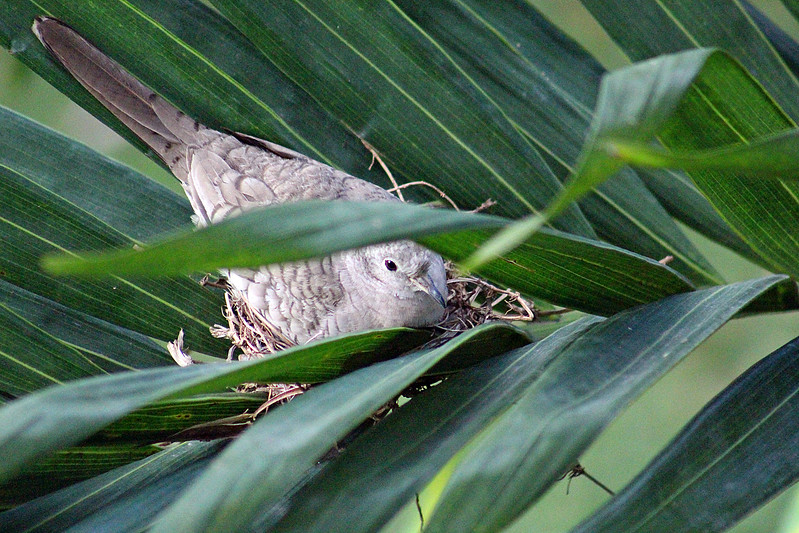 Inca Dove Nesting