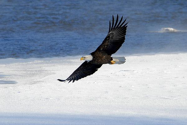 Bald Eagles - Feb. 3/10, 2007