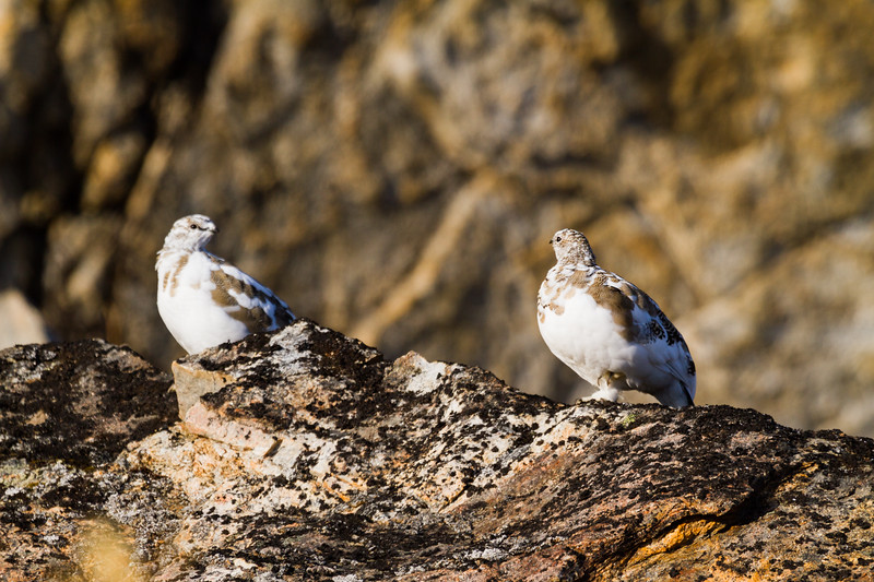 Ptarmigan and friend