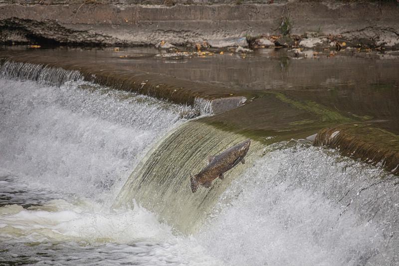salmon upstream (23 of 48).jpg