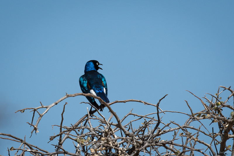 Tarangire National Park Bird Superb starling-0594.jpg