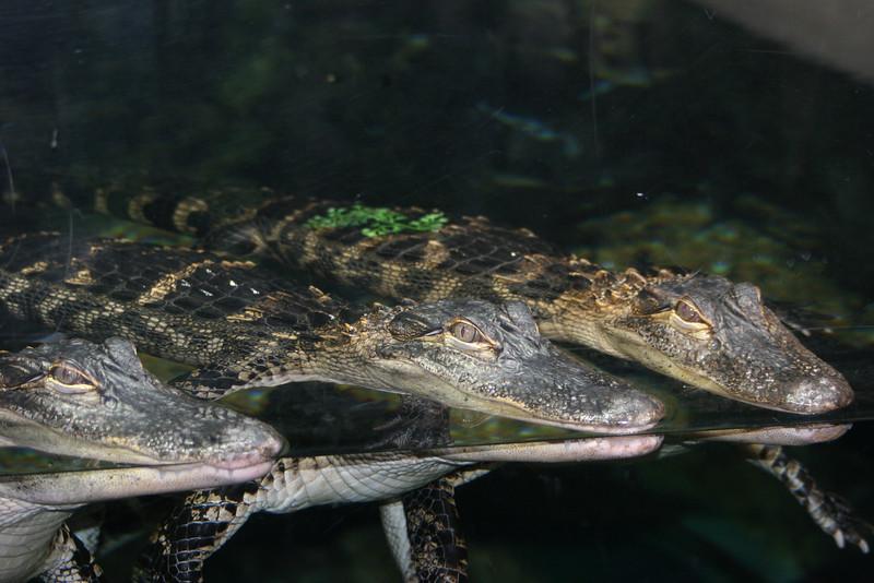 crocks at the Atlanta Aquarium