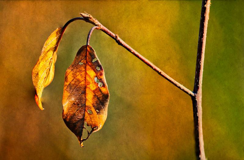 Late leaf-ginger tex_Nov 3-2010_01.jpg