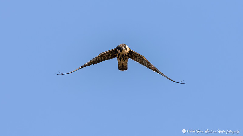 Lærkefalk (Falco subbuteo - Eurasian hobby)