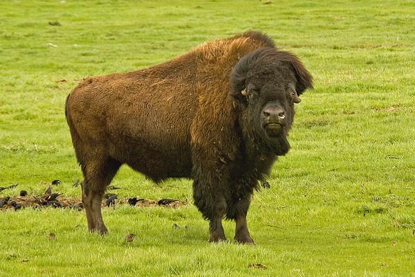 Bison - Moorhead, MN