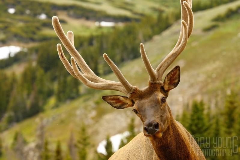 Elk-Close.jpg