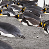 Gentoo blending in with the King Penguins