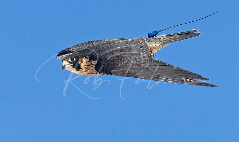 Peregrine Falcon showing transmitter
