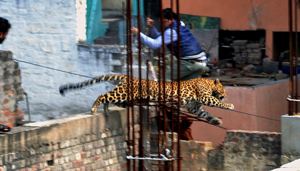 . In this Sunday, Feb. 23, 2014 photo, an Indian man moves out of the way of a leopard in the northern Indian city of Meerut, India. Forestry officials and police armed with tranquilizer darts searched for a leopard that injured six people in the northern Indian city, creating panic and driving people indoors, police said Tuesday. (AP Photo/File)