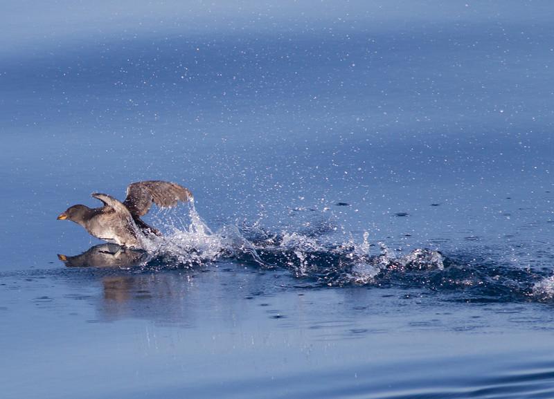 Rhinoserous Auklet   Orange County Waters  2014 01 11-1670.CR2