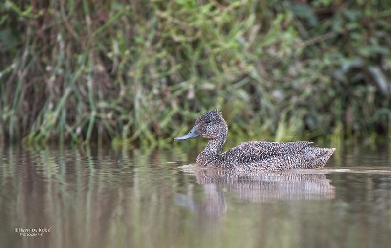 Freckled Duck, Arundal, QLD.jpg