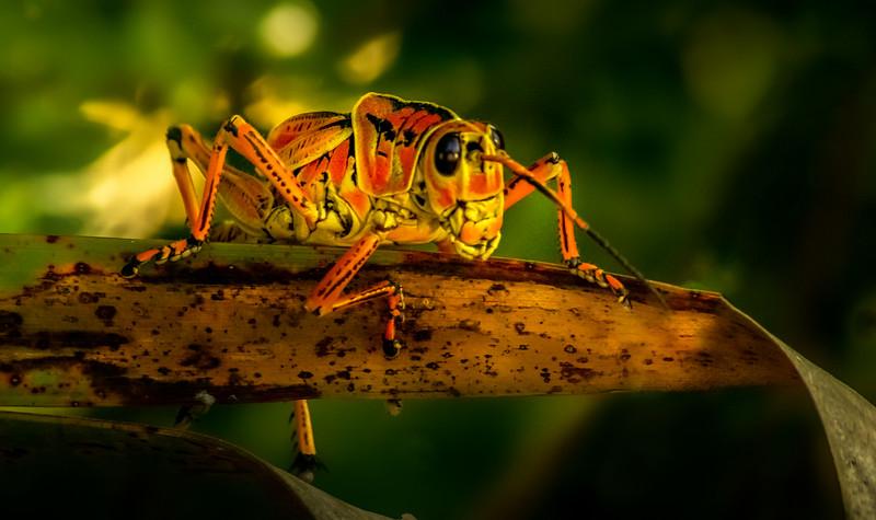 Grasshoppers 61.jpg
