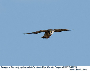 Peregrine Falcon A92973.jpg