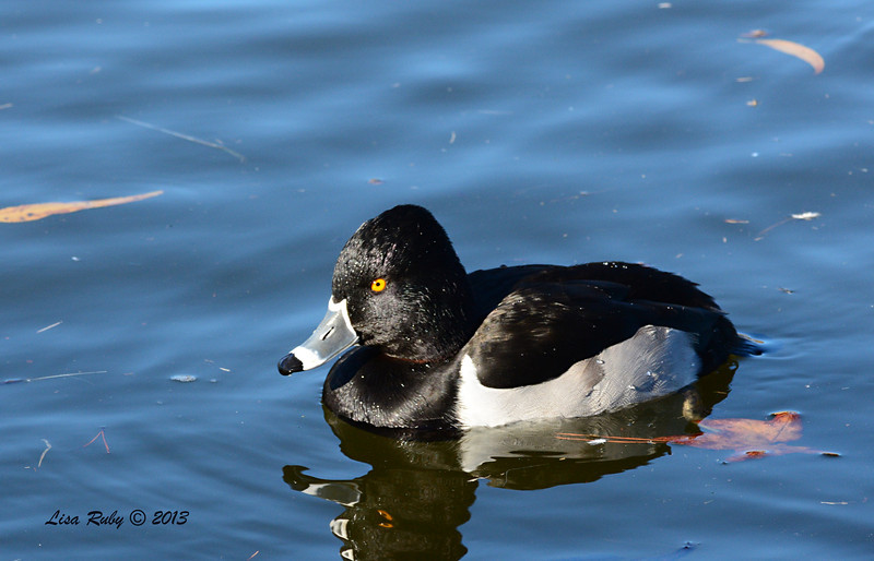 Male Ring-necked Duck - 12/23/13 - Santee Lakes