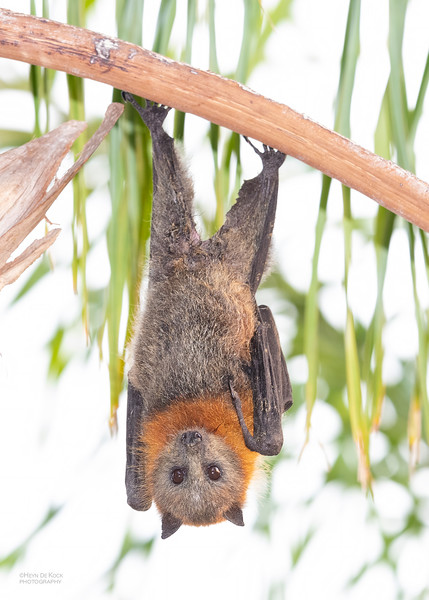 Grey-headed Flying Fox, Nerang, QLD, Nov 2019-5.jpg