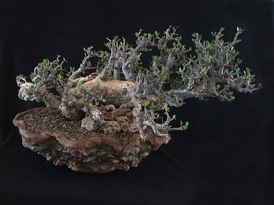 Bursera  Simplicifolia 2010