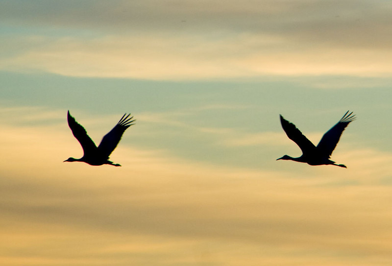 Sandhill Cranes in the air