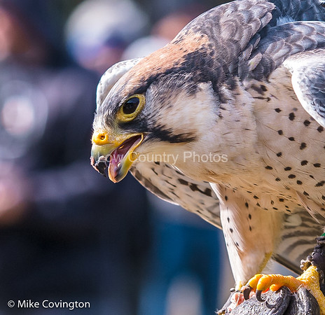 Birds of Prey from the Low Country