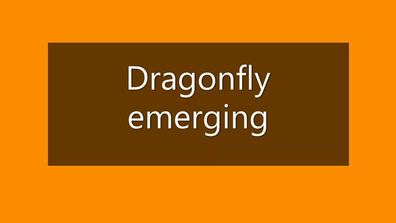 Emerging dragonfly_Medium.mp4