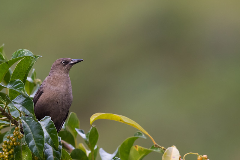 Great-tailed Grackle - Female - Los Quetzales Lodge, Guadalupe, Panama