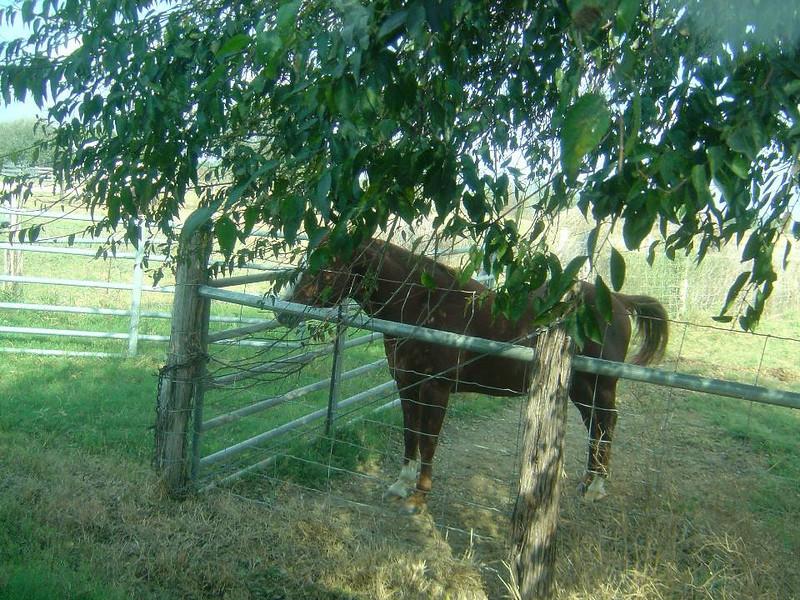 DSC03557-Brown Horse-King Ranch Tour-Thanksgiving-Kingsville TX- Nov 2008.jpg