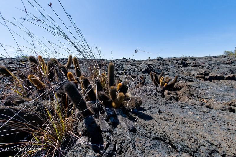 Lava Cacti at Punta Moreno, Isabela Island
