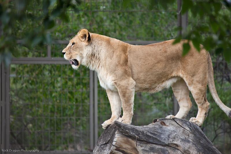 African Lion, Calgary Zoo, June 22
