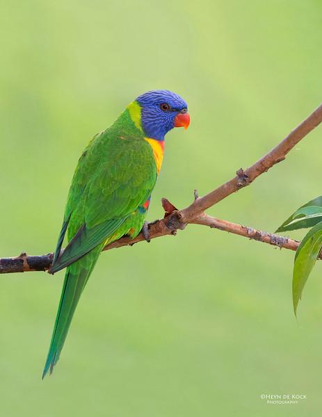 Rainbow Lorikeet, Tallai, QLD, Aus, April 2013-12 copy.jpg