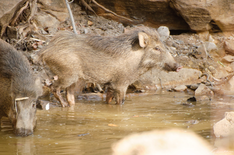 Boar at water hole Tadoba, April 2012