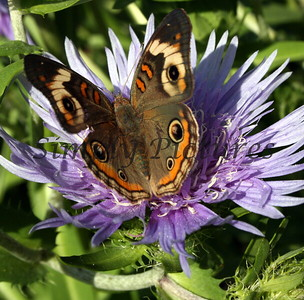 BUTTERFLY ON ASTER 2