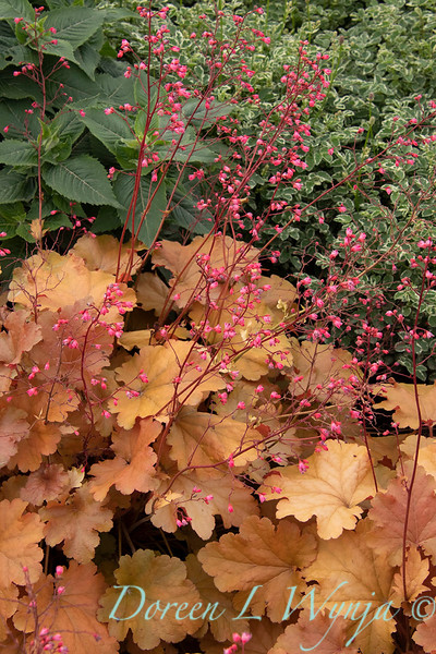 42914 Heuchera hybridus 'Amberouse'_2246.jpg