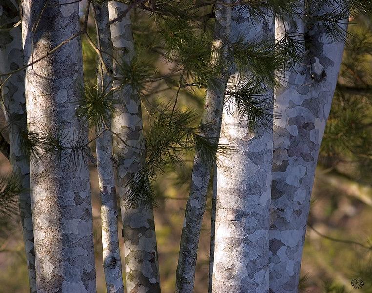 Pinus bungeana; Lace Bark pine 'Silver Ghost'