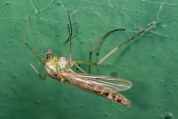 Non-biting midges (Chironomidae)