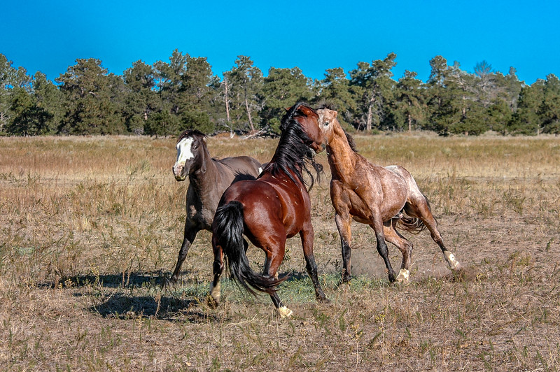 Wild Horses Fighting  #5