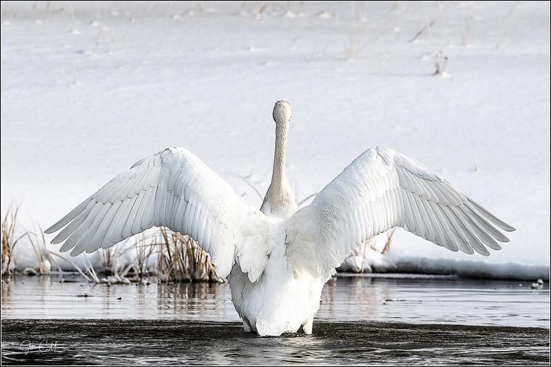 J85_1349 Swan Wings c LPNr1W.jpg