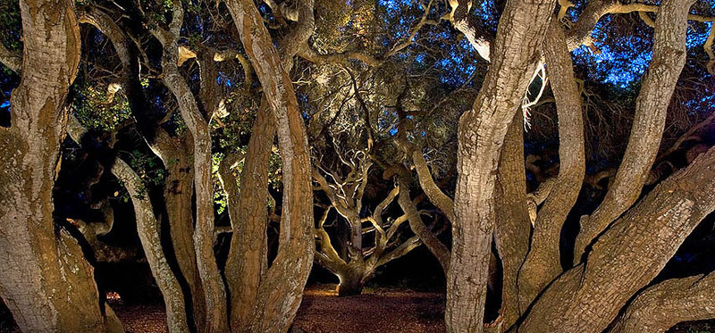 Lit up coast live oak in Los Osos Oaks State Reserve