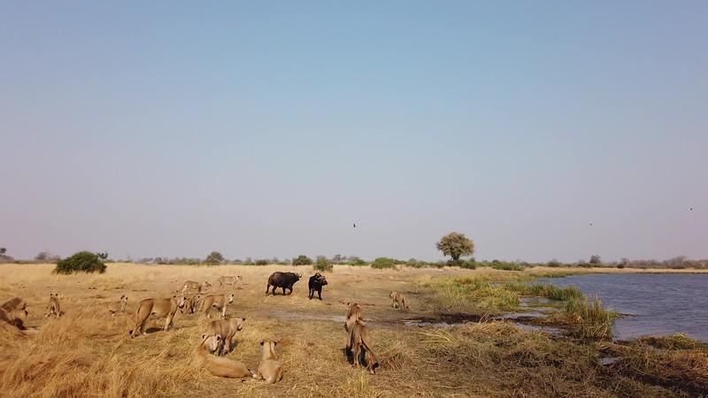 Lion pride watching Cape Buffalo