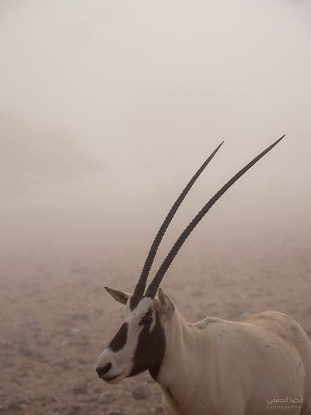Arabian Oryx (80).jpg