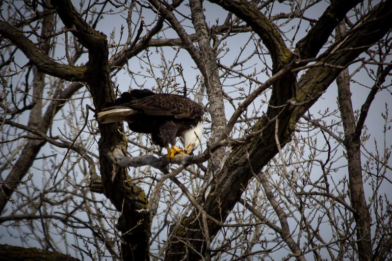 Eagle eating-7014.jpg